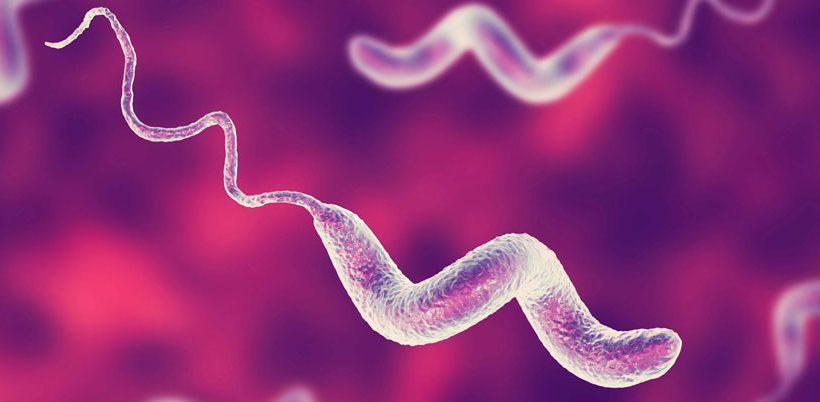Campylobacter jejuni en perros y humanos