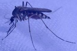 Mosquito Culex pipiens o mosquito trompetero. Mosquitos en invierno en su habitación
