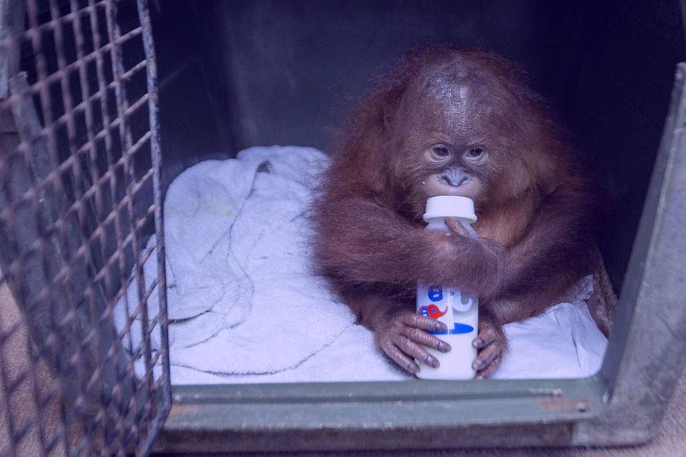 orangután en bali