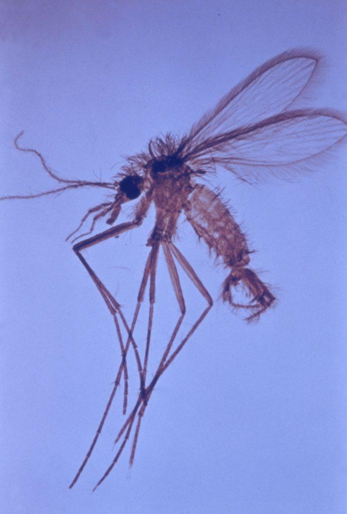 Mosquito flebotomo (Phlebotomus spp.). Mosquitos en invierno en su habitación