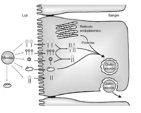 formación de quilomicrones