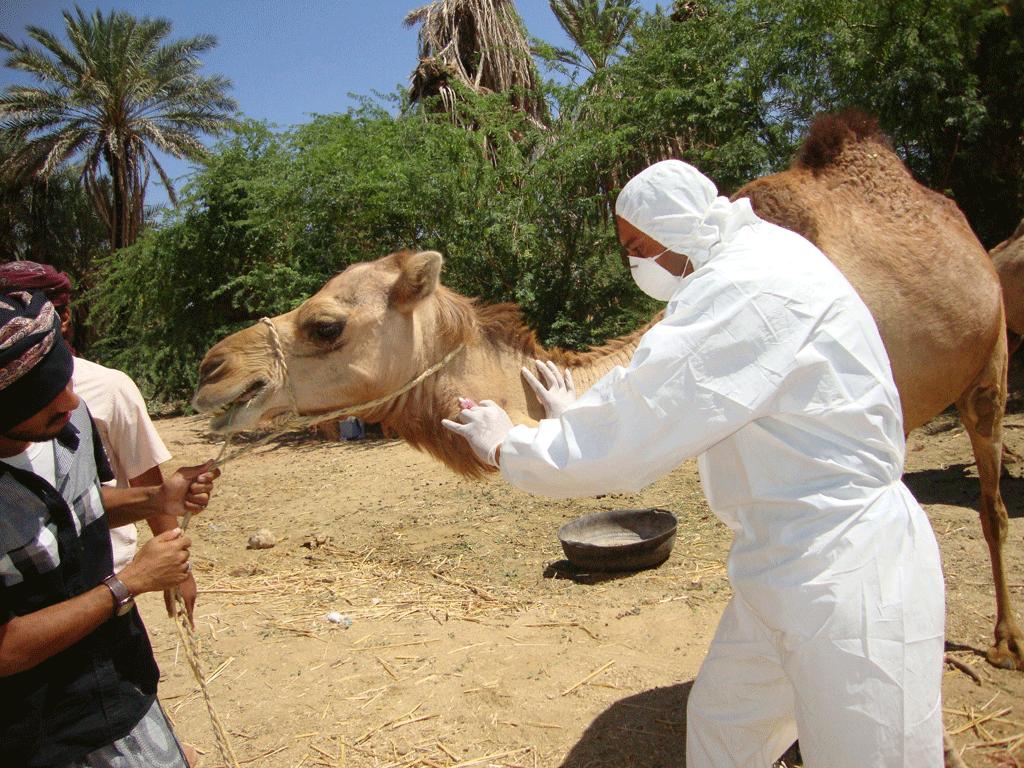 Veterinario análisis camello