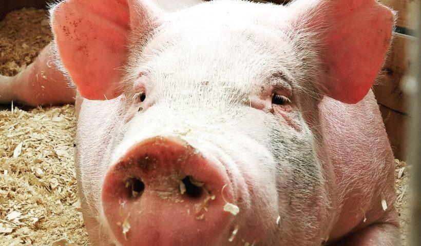 Peste Porcina Africana (PPA)