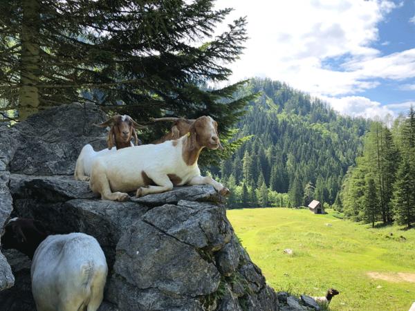 Foro de cabras