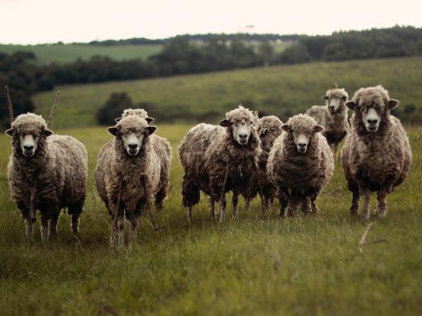 Foro de rumiantes (ovejas)
