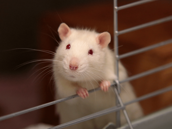 Foro de roedores